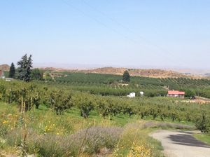 Yakima Valley orchards and vineyards as seen from Naches Heights