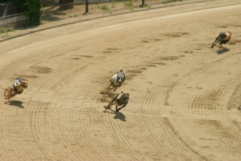 Greyhound_racing_turn